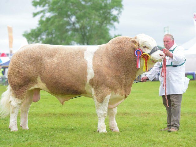 2019 GYS Supreme Beef winner, a two-year-old Simmental bull, Heathbrow Important, owned by David Sapseed of Hitchin in Hertfordshire.
