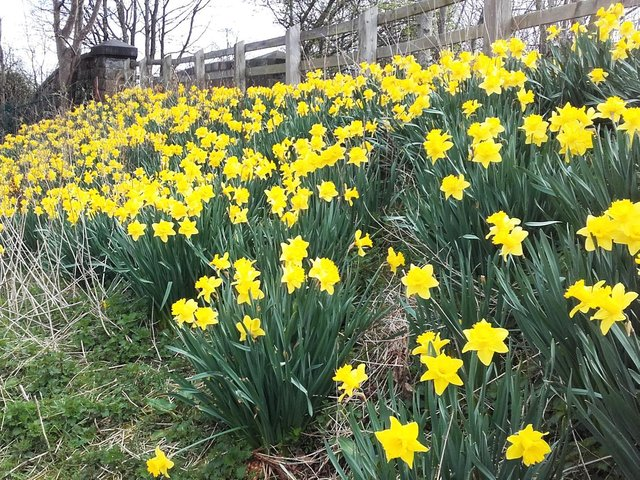 The daffodils on each side of the path over the railway on the Stray near the Tewit Well, taken by Keith Preece, from Harrogate.