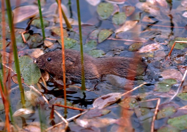 Water voles like this are being released.