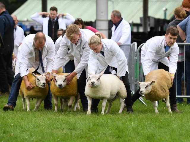 Herding the sheep into the judging ring. Picture Gerard Binks