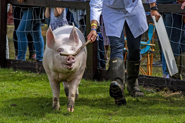 13 July 2021.....   Great Yorkshire Show Day 1 Tuesday.A competitor in the pig ring for judging.  Picture Tony Johnson